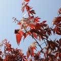Китайский клён, у-син фото