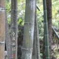 У-син фото Бамбук