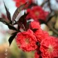 Пекин, цветение миндаля