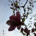 Пекин, цветение магнолии