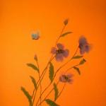Maki na oranjevom