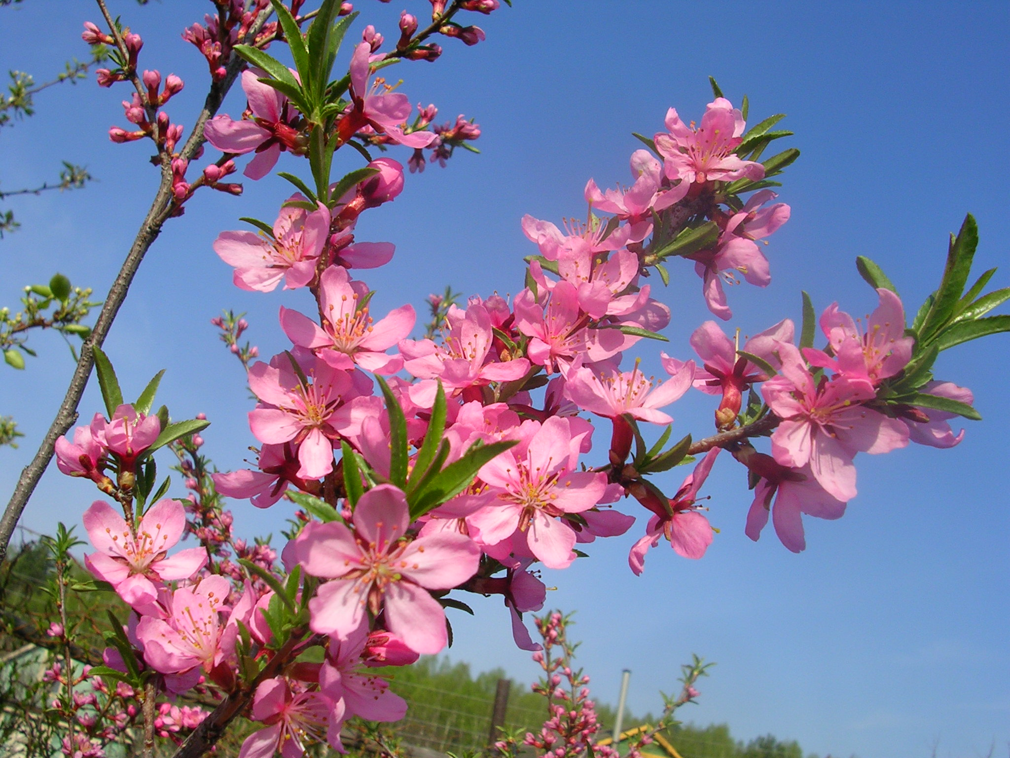 миндаль фото цветет