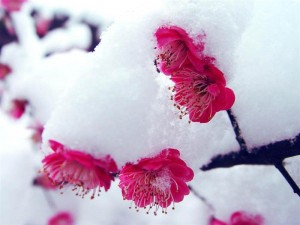 Sliva Mei pod snegom
