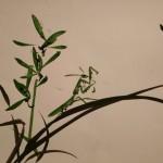 orchid bogomol (1)